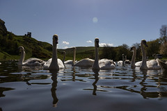 Edinburgh Ponds April 2018 (184 of 228) (Philip Gillespie) Tags: lochend park pond st margaret loch water wet birds swans seagulls pigeons drips drops sky cloud sun sunshine trees bushes leaves branches kite mono monochrome black white colour color green blue yellow red orange flowers door waves ripples reflections grass hill arthur seat low level close up landscape waterscape eyes beaks feathers people man girl ruin chapel church silhouette contra lumiere bench clouds flood rocks roof wire barbed goose splash reeds nature natural forest wood