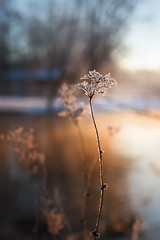 Frozen flower (~ Maria ~) Tags: winterscene frozencanal frozen cold mariakallinphotography january 2018 tyresö frozenflower wintersunset sunset