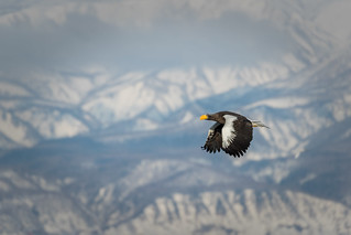 Eagle flying against the snow mountain backdrop
