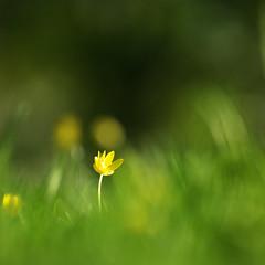 lonely (Darek Drapala) Tags: lonely flower flowers grass yellow green nature natural botanic bokeh botanicgarden panasonic poland polska panasonicg5 park skaryszewski silkypix closeup spring