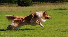 Aslan chasing bal (sara.peetermans) Tags: dog hond schotse collie speed motion