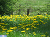IMG_3632 (superingo78) Tags: eifel monschau felder gras grün natur blumen blüten