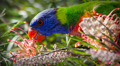 Rainbow lorikeet (dicktay2000) Tags: canonef70300mmf456isusm ©richardtaylor 40d australia nsw rookwood sydney newsouthwales 20140330img3527