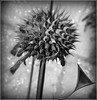 Wild weed (PaulO Classic. ©) Tags: leonotis samsung bw photoshop picmonkey ssc