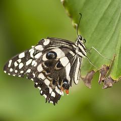 RHS BUTTERFLY 02 (mickyh2011) Tags: close up macro nikon 105 butterfliesrhs