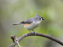 Tufted Titmouse (Laura Erickson) Tags: paridae tuftedtitmouse wisconsin birds trempealeau judybautchshouse species places passeriformes baeolophusbicolor