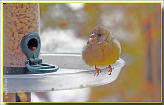 Kleiner Fink wartet auf die Vogelmama