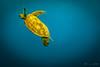 Turtle swimming up for air (Theresa Hall (teniche)) Tags: australia canberra greatbarrierreef heronbommie heronisland queensland teniche theresahall reef underwater turtle