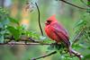 Male northern cardinal (cheryl.rose83) Tags: bird cardinal northerncardinal