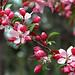 "Cincinnati – Spring Grove Cemetery & Arboretum ""Crab Apple Tree – Blooms"""