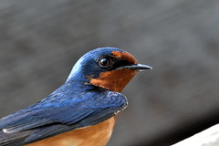 Swallow (Rocky Mountain Guy) Tags: lakewood colorado unitedstates belmar