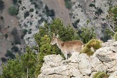 16.Cabra Hisapnica, monte Peñagolosa (Manupastor43) Tags: