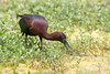 Glossy Ibis (Simon Stobart) Tags: florida unitedstates us glossy ibis plegadis falcinellus wading feeding water pond plants weed coth5 ngc npc