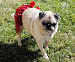 Happy 16th Birthday (Puuhale) Tags: dogs petdogs pets pugs pugdogs