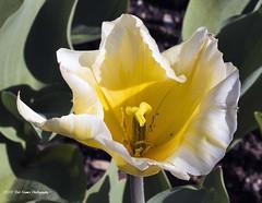 Yellow Tulip. (rumerbob) Tags: yellowtulip tulip flower floral flowergarden fauna flowerphoto macro macroflower macrophotography longwoodgardens botany botanicalgardens botanical nature naturewatcher naturephotography yellow canon7dmarkii canon100mmmacrolens