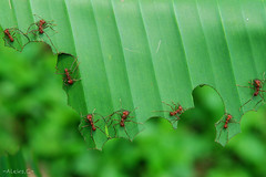 Really hard workers! (aleks_ca) Tags: ants redants zompopa hormigas costarica working trabajando insects world nature amazing naturaleza green verde