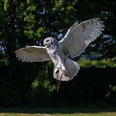 Coming in for landing (*Hairbear) Tags: bird flying prey internationalbirdofpreycentre owl leap