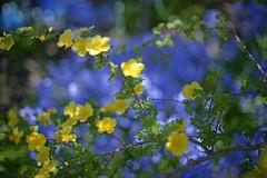 So Blue... (KissThePixel) Tags: blue bluebells blueflowers blueflower yellow yellowflower flower bokeh extremebokeh blossom may monthofmay macro bokehlicious nikon 50mm beauty simplebeauty garden mygarden gardener glorious tree