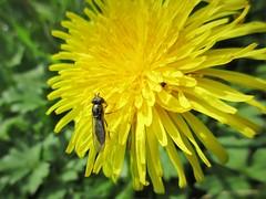 A light dusting of pollen (Julie (thanks for 9 million views)) Tags: hfdf 2018onephotoeachday fly diptera wildflower garden canonixus170 pollination nature pollen dandelion macro