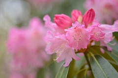 Rhododendron (snowshoe hare*) Tags: シャクナゲ 石楠花 龍安寺 京都 dsc0521 ryoanjitemple kyoto rhododendron flowers