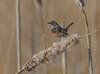 Blauwborst - Bluethroat - Luscinia svecica  -7847 (Theo Locher) Tags: bluethroat blauwborst blaukehlchen gorgebleueamiroir lusciniasvecica birds vogels vögel oiseaux netherlands nederland copyrighttheolocher
