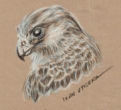 halcon a carboncillo (ivanutrera) Tags: halcon draw dibujo drawing dibujoacarboncillo carboncillo charcoal animal ave bird ilustracion sketch sketching