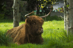 Ebrel (pamélaroué) Tags: vache rural highland plouguin cow
