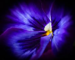 Deep Purple Pansy (brian.pipe) Tags: nikon d500 85 f14 pansy purple deep dallas arboretum texas tx