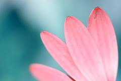 Pink geometry (victoriameyo) Tags: petals pink nature geometry closeup pastel colors smileonsaturday separatepetals