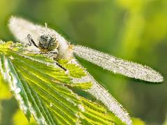 2018-04-28 10-44-11 (C) (turbok) Tags: insekten libellen tiere wasserantieren wassertropfen c kurt krimberger