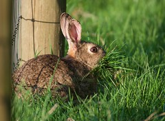 Springtime preparations (-Porsupah-) Tags: 2018 adult april bunny evening grass mother mouth nesting oryctolaguscuniculus rabbit solo spring sunny wild wildlife