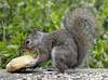 My precious! (Dave Duricy) Tags: squirrel donut doughnut
