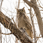 Male Great Horned Owl looking intimidating - look at those talons thumbnail
