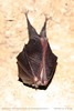 Bat at rest (srkirad) Tags: animal mammal flying wings bat closeup macro dof depthoffield cave gornjak gorge serbia srbija walking trekking hiking underground dark lightened light stones sleeping hanging hanged claws legs