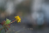 Zenit Jupiter-3 (Зенит Юпитер-3) 50m ƒ1.5  - DSCF9965 (::nicolas ferrand simonnot::) Tags: bokeh depth field dof black white manual prime lens fixed focal length russian macro zenit jupiter3 зенит юпитер3 pt1655 version manufactured ussr by zagorsky optikomechanichesky zavod 1962 | 13 blades aperture m39 ltm flower weed plant nature color yellow green red blue arbre fleur plante effet jardin