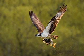 Another backlit Osprey with a Carp