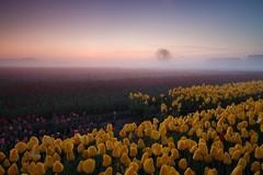 20180421-Canon EOS 6D-6913 (Bartek Rozanski) Tags: sassenheim zuidholland netherlands tulip bollenstreek nederland holland field agriculture mist fog sunrise