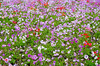 anemone (peaceful-jp-scenery (busy)) Tags: windflower anemone 花 アネモネ mossphlox fujishibazakurafestival mountfuji asagiri highland yamanashi 富士芝桜まつり 富士山 朝霧高原 芝桜 富士河口湖町 山梨 日本 fujifilm xt20 xf1855mmf284rlmois