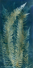 Ferns (Mirrored-Images) Tags: cyanotype wetcyanotype me multipleexposure ferns photogram sunprint originalprint alternativephotographicprocess