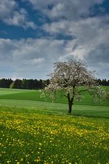 Frühling in Bittwil (Seeberg BE) (Thomas Neuhaus) Tags: bittwil seeberg kantonbern oberaargau frühling gras baum himmel feld landschaft blüte blume löwenzahn