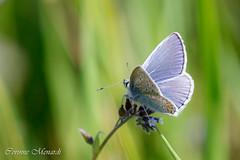Polyommatus bellargus (Corinne Ménardi) Tags: papillon bleu insecte lycaenidae polyommatinae lépidoptères occitanie
