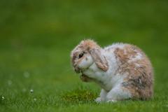 Oh please lord no more rain (Paul Wrights Reserved) Tags: rabbit rabbits bunny bunnies pray praying bokeh grass mammal cute cutie pet pets petphotography