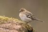 Chaffinch D85_2479.jpg (Mobile Lynn) Tags: nature birds finch chaffinch bird fauna fringillacoelebs fringilladae oscines passeri passeriformes songbird songbirds wildlife ngc coth coth5 npc