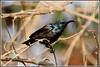 7832 - purple sunbird (chandrasekaran a 49 lakhs views Thanks to all.) Tags: purplesunbird sunbird birds nature india chennai canoneos80d tamronsp150600mmg2