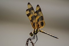 Winged Detail (ACEZandEIGHTZ) Tags: winged flying detail macro closeup nikon d3200 nature dragonfly insect halloween pennant eponina odonata celithernis orange spotted naturethroughthelens coth alittlebeauty bokeh texture coth5 sunrays5