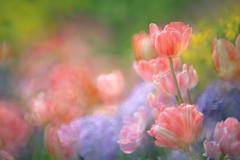 Dream Garden (lfeng1014) Tags: dreamgarden tulips hydrangea spring multipleexposure flowers closeup bokeh softfocus dreamy canon5dmarkiii colourful garden light lifeng