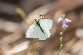 Great Southern White Butterfly 500_5511.jpg