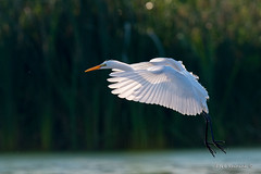 With wings back lit (Earl Reinink) Tags: bird animal wading egret legs lighting swamp greategret earl reinink earlreinink ueuadazdia