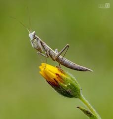 Imperial (JoseQ.) Tags: macro macrofotografia ameles ninfa mantis bichoinsecto animal flor campo airelibre lagranjilla viñuelas verde primavera olympus apilado micro43