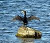 Cormorant (stuartcroy) Tags: orkney island cormorant beautiful bird beach sony scotland sea